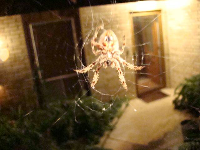 Texas critters spider Western spotted orbweaver