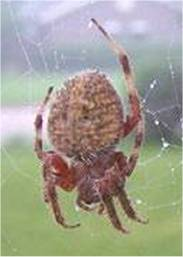 Close-up photo of the Western Spotted Orbweaver