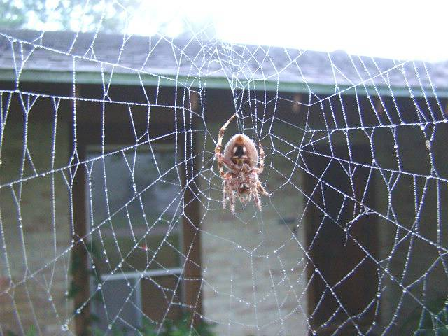 spider web Texas spiders critters orbweaver